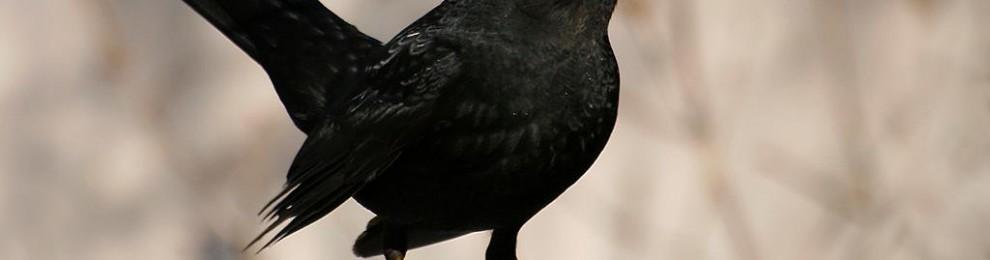 Sverige kan få ny nationalfågel